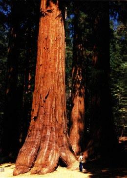 SequoiaAndMan.jpg